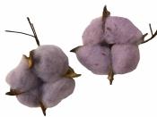 Sušený bavlník - fialový