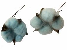 Sušený bavlník - modrý