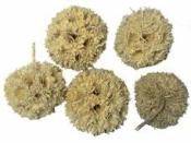 Sušený plod - Ambra gulička 5 ks - bielená