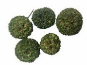 Sušený plod - Ambra gulička 5 ks - zelená