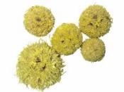 Sušený plod - Ambra gulička 5 ks - žltá