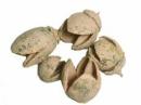 Prírodné bukvice - Bakuli 5ks - cappucino