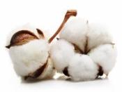 Sušený bavlník - biely