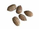 Šiška - palmový plod - zasnežený