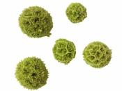 Sušené kvety - scabiosa - 5ks - svetlé zelené