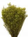Sušené kvety Broom Bloom - olivové