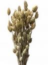 Sušené kvety chvostíky - biele