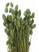 Sušené kvety chvostíky - aqua