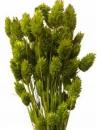 Sušené kvety chvostíky - zelené