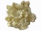 Sušené kvety slamienky Cap 90 g- biele