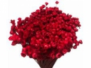 Sušené minikvietky slamienky - karmínové červené