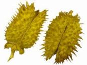 Sušený bodliak Datura 2ks - žltá