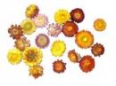 Sušené kvety slamienky - farebný mix 10ks